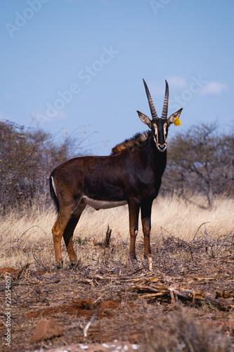 Sable Antelope Africa