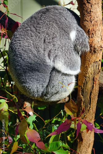 Staande foto Koala A koala on a eucalyptus gum tree in Australia