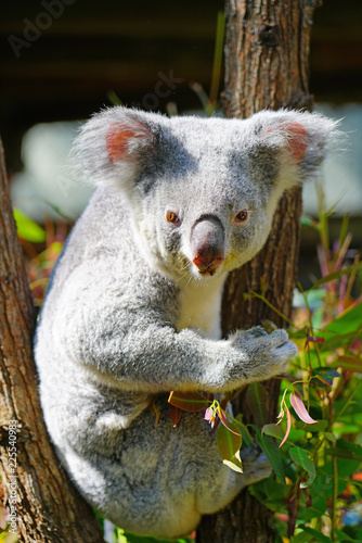 Poster Koala A koala on a eucalyptus gum tree in Australia
