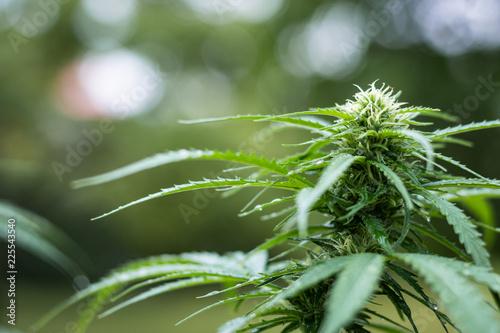 Cannabis sativa, blurry background - Buy this stock photo