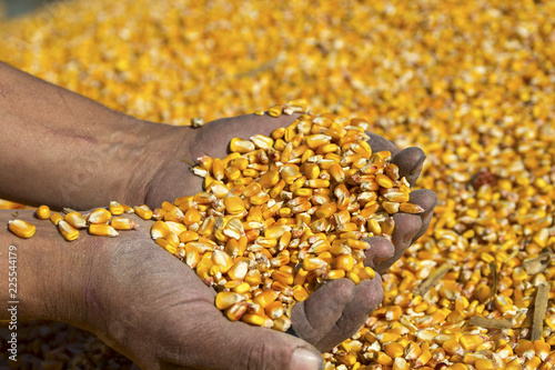 Farmer's Hands Holding Harvested Grain Corn