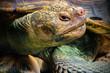 Close up of land Giant Tortoise