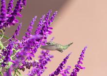 One Female Annas Hummingbird F...