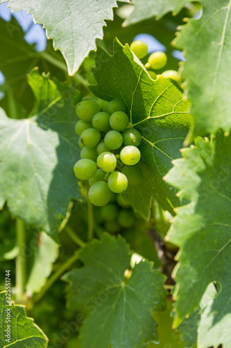 Immature grapes growing in a vineyard in Chianti, Tuscany, Italy