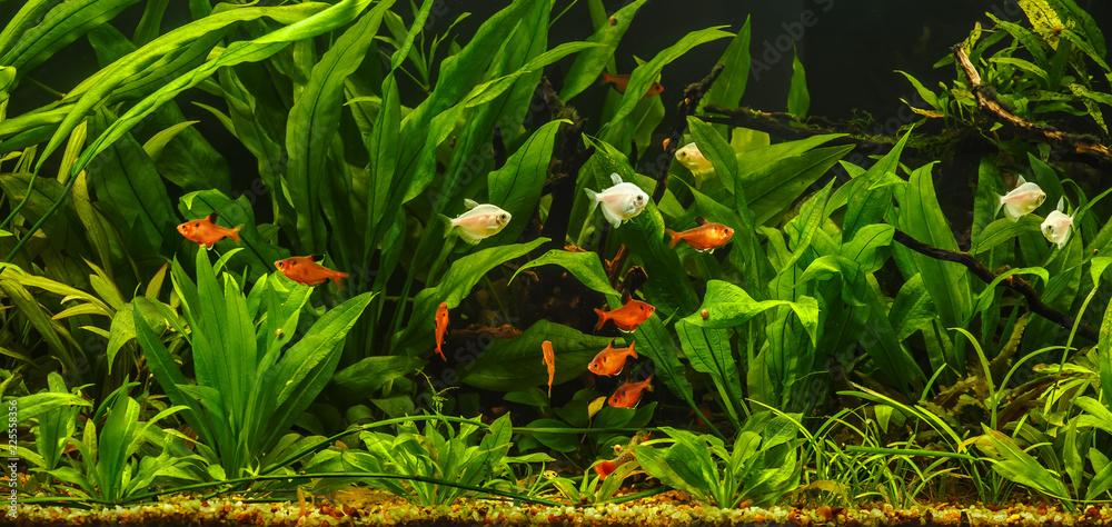 A green beautiful planted tropical freshwater aquarium with fishes.Zebra angelfish (pterophyllum scalare) in aquarium