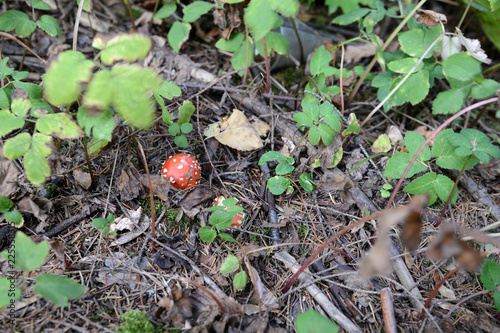 Photo Fly agaric mushroom in the autumn forest