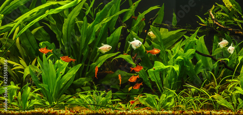 A green beautiful planted tropical freshwater aquarium with fishes.Zebra angelfish (pterophyllum scalare) in aquarium