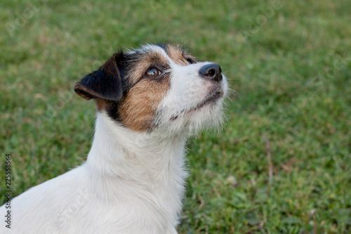 Fotografie, Obraz  Cute jack russell terrier puppy with hazel eyes. Pet animals.