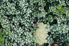 Frost On Thyme, First Frost.