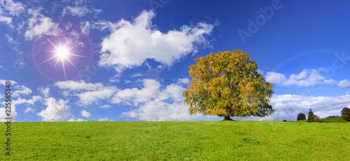 Weitwinkel mit Buche als Einzelbaum im Herbst mit Sonnenstrahlen