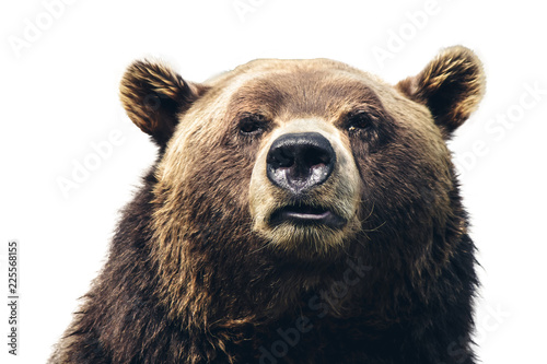 Head of a huge bear close-up on white background