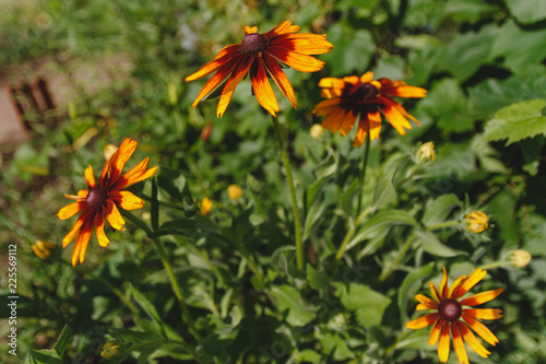 Valokuva  black-eyed Susan flower in the summer garden on a green background