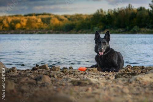 Pies, czarny owczarek niemiecki leżący na kamienistym brzegu rzeki - fototapety na wymiar