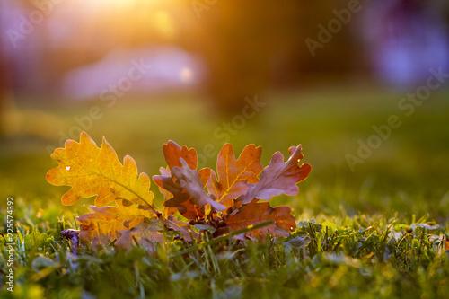 Aluminium Prints Autumn Autumn leaf on green grass, macro closeup.