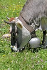 mucca bigia alpina al pascolo