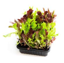 Fresh Baby Leaf Salad Lettuce ...