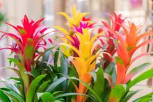 Colorful Blooming Bromeliad Flowers Indoors, Soft Focus