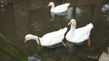 White Geese Swim In A Lake On A Farm. Water Birds.