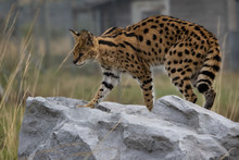Female Serval In Captivity Plays At Hunting With Her Keeper