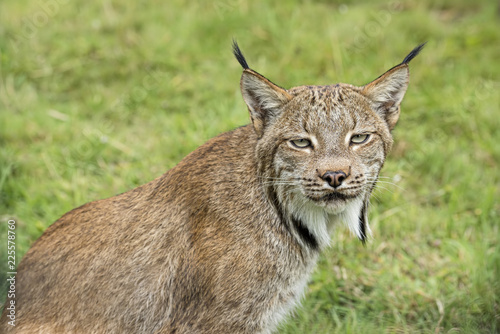 Fotobehang Lynx Candian lynx in captivity