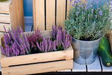 Lavender Bush In A Bucket And Heather In A Wooden Box