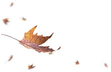 Falling Dry Autumn Leaves.