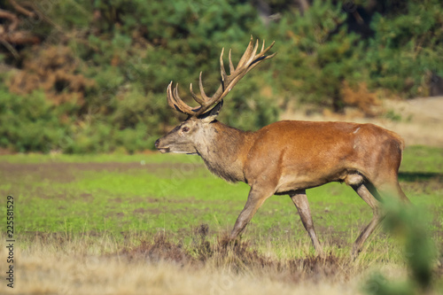 Deurstickers Hert Male red deer, cervus elaphus, during rutting season