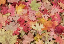 Autumn Maple Leaves In An Array Of Colors Covered In Dew