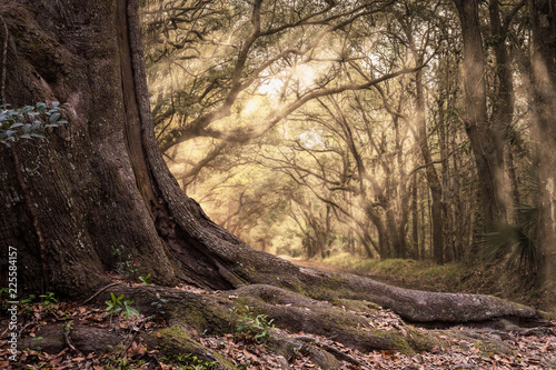 Obraz Old big trunk of a tree with background of forest and sunbeam - fototapety do salonu