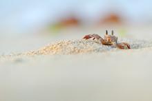 Ghost Crab In The Beach Of Socotra Island, Yemen.
