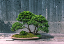 A Trimmed Bonsai Tree