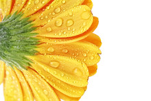 Yellow Gerbera Flower Isolated On White Background. Gerbera With Water Drops.