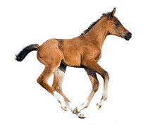Foal Isolated