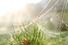 Cobweb On Wild Meadow, Closeup View