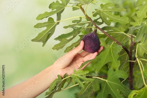 Canvas Print Woman picking ripe fruit from fig tree on blurred background, closeup