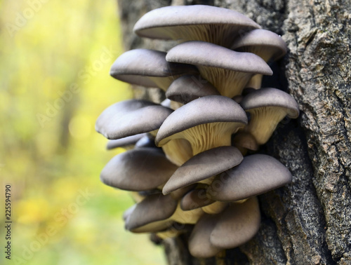 Oyster mushroom (Pleurotus ostreatus) grows on a tree bark in the forest.Organic vegetable food concept.Selective focus.