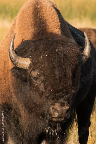Fotobehang Buffel Bull bison at sunrise