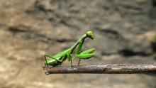 Praying Mantis, Mantodea, Sit ...