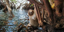 A Three Toed Sloth In The Mang...