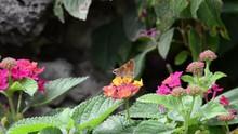 HD Video Of A Skipper Butterfl...