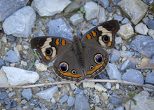 A Common Buckeye Butterfly, With It's Wings Spread Open Wide, Lands On A Gravel Path.