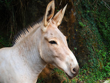 View Of One Somali Wild Ass - Equus Africanus Somaliensis