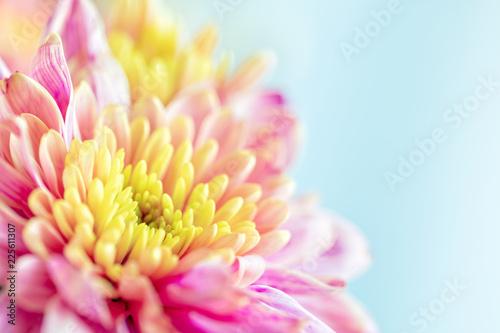 Fotobehang Macrofotografie Close up background of pink and yellow chrysanthemum flower, macro
