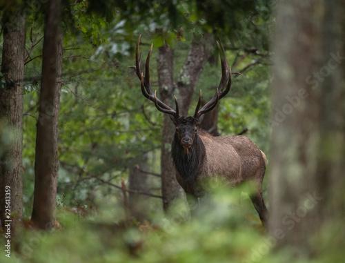 Poster Deer Bull Elk