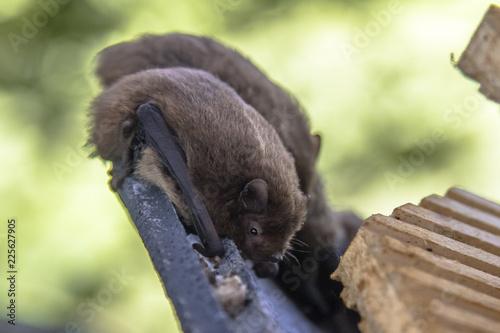 Nathusius pipistrelle bats resting in bat house