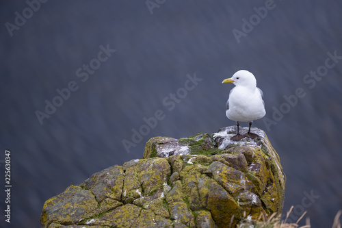 Beautiful seagulls standing on cliff in Londrangar ,iceland.