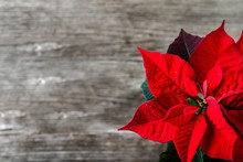 Red Poinsettia, Christmas Flower, Table Decoration On Wooden Rustic Background