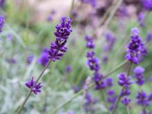 Fild Of Flowering Lavender. Lilac Lavender Flowers In The Garden. Lavender, Lavandula Officinalis.
