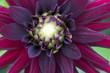 Makroaufnahme einer pinken Dahlienblüte