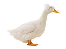 White Duck Isolated